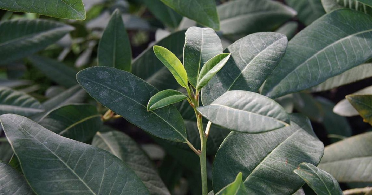 A NATURAL, ECO-FRIENDLY PESTICIDE SYNTHESIZED FOR THE FIRST TIME